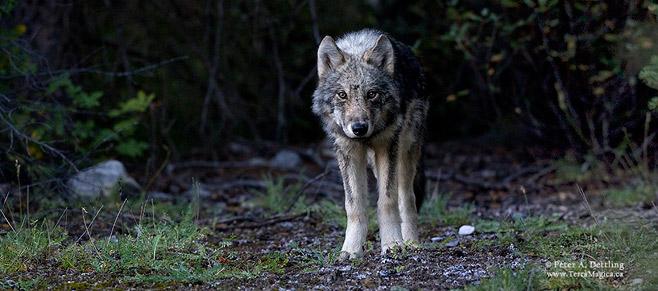 wolf_landscape_sm