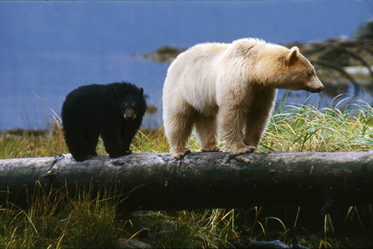 Spirit Bear Mother and Cub