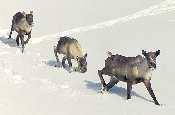 Caribou Cow and Calves