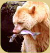 White spirit bear with salmon.
