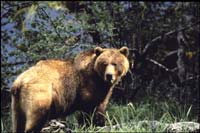 wildlife_grizzly