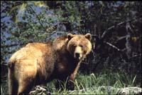 wildlife_grizzly