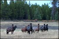wildlife_horses