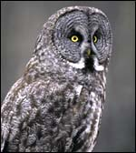wildlife_owl