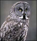 wildlife_owl