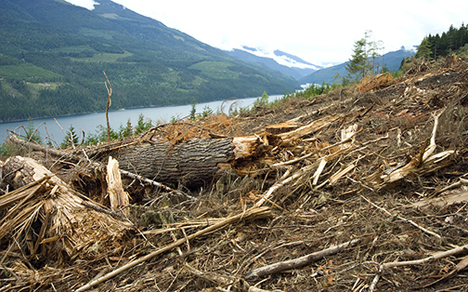 Summer 2015 logging of old growth hemlock forests by BC Timber Sales in unprotected mountain caribou habitat on the west side of Trout Lake Summer 2015 logging of old growth hemlock forests by BC Timber Sales in unprotected mountain caribou habitat on the west side of Trout Lake